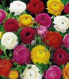 Ranunculus Bulb Flowers Wholesale Flowers Ranunculus Flowers