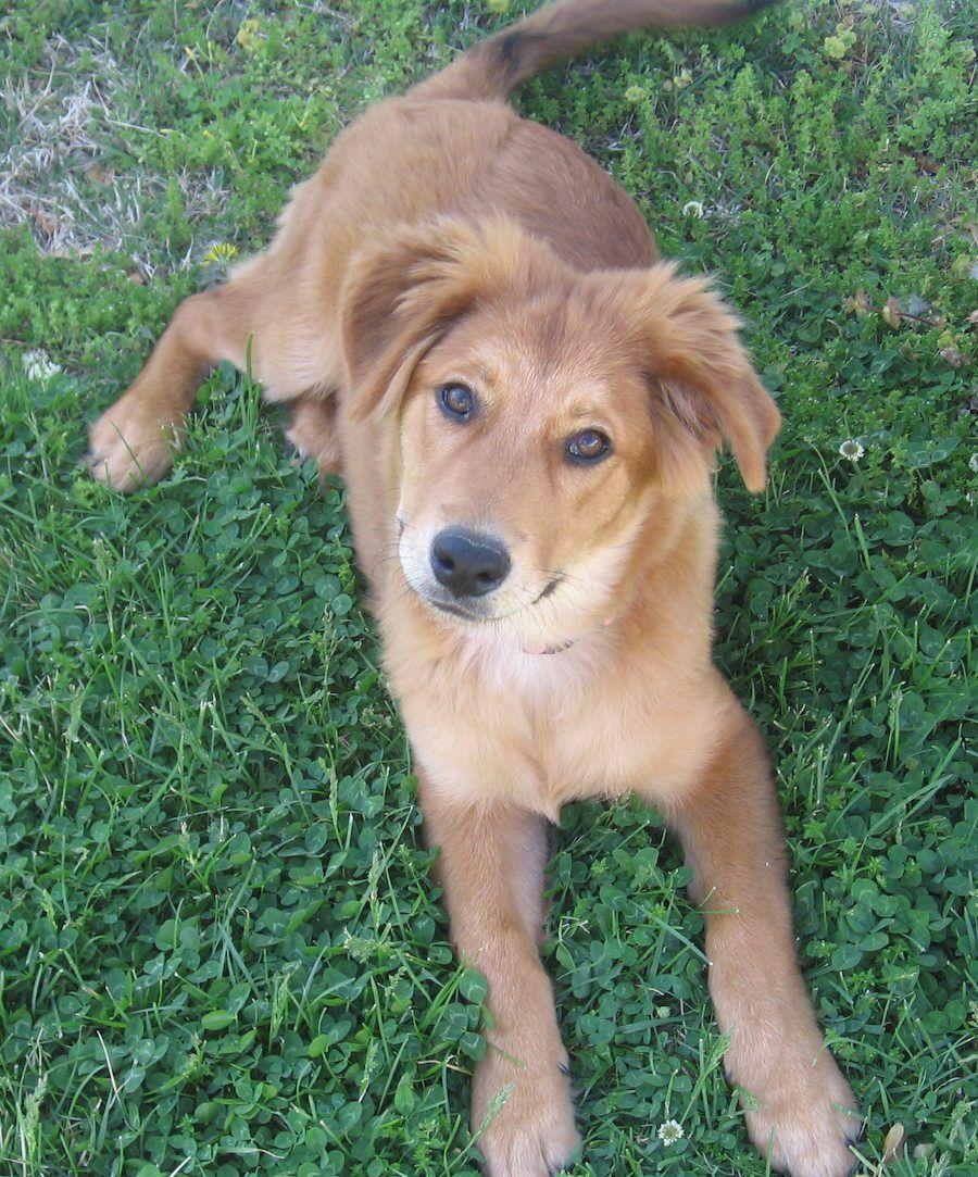 collie retriever Family dogs breeds, Dog breeds, Golden