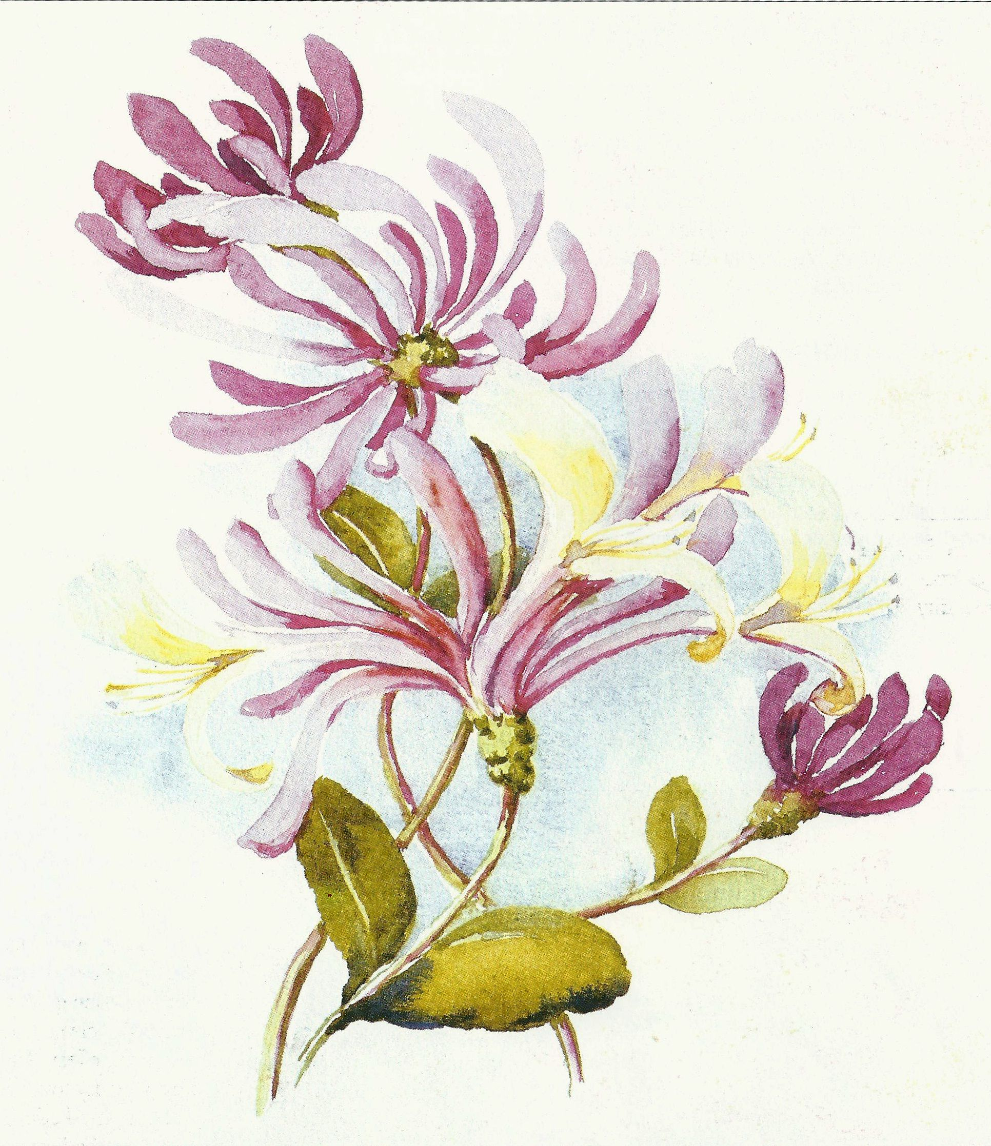 Honeysuckle Fun W Watercolor Pinterest Honeysuckle Tattoo