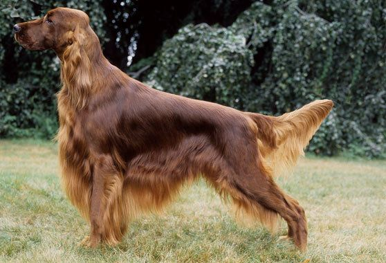 Irish Setter Breed Information Irish Setter Dogs Irish Setter