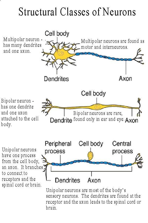 neuron anatomy | types of Motor Neurons : Somatic =these are ...