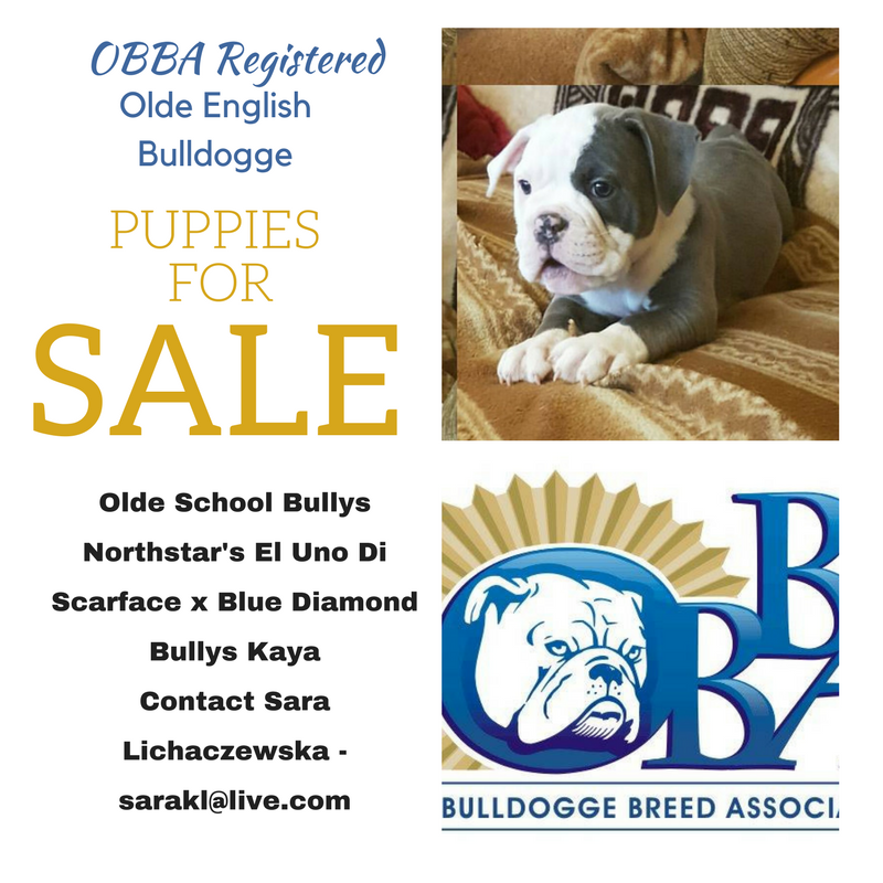 Obba Registered Olde School Bullys Oeb Puppies For Sale Puppies