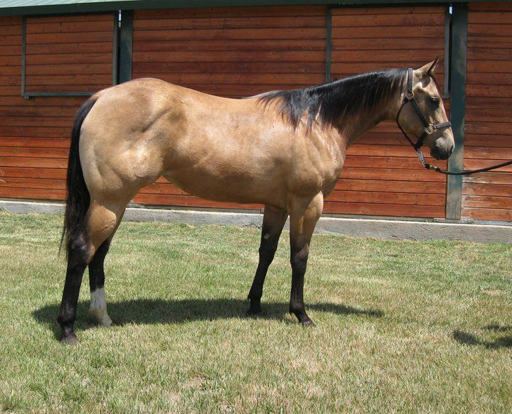quarter horse buckskin - photo #8