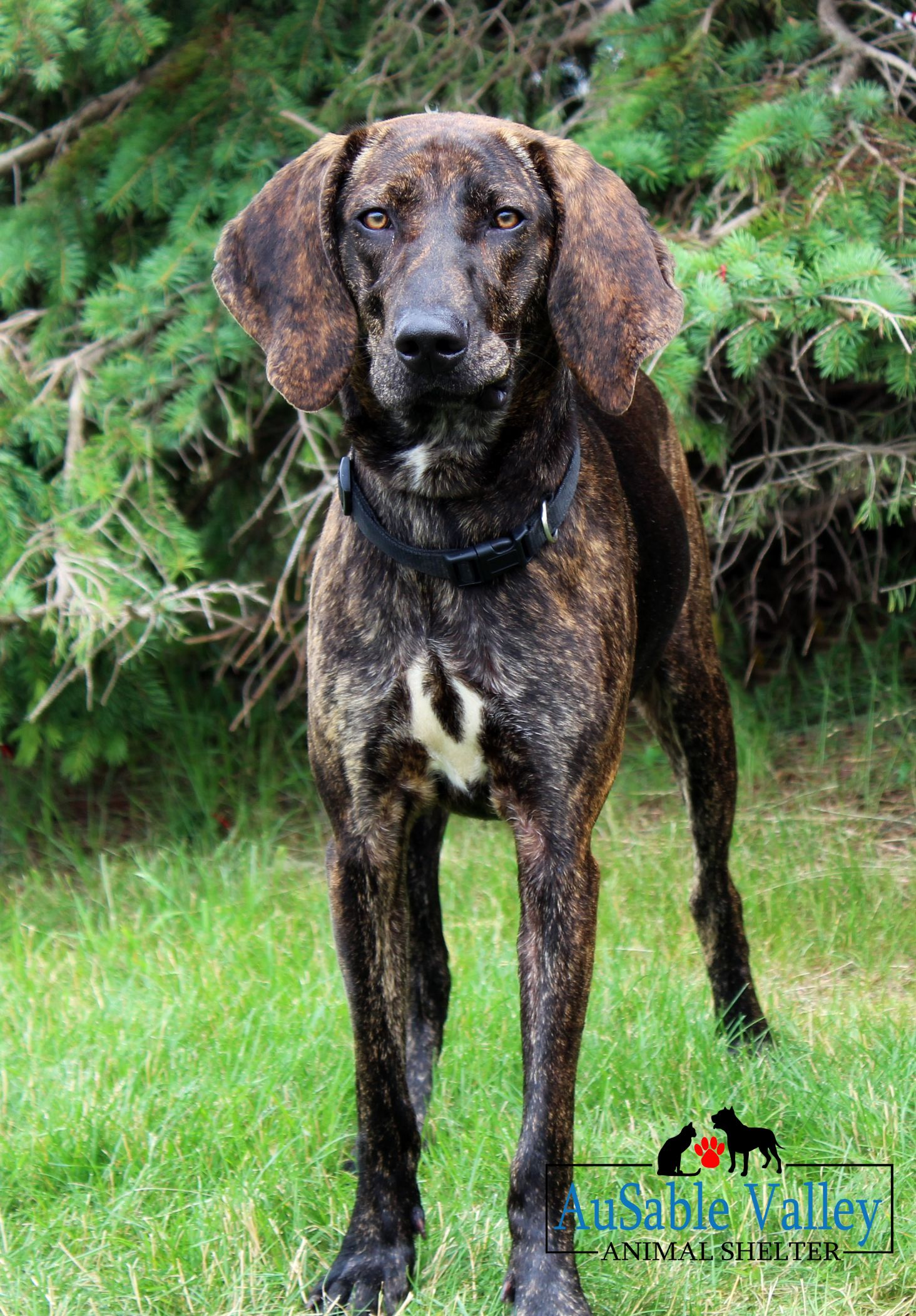 Adopt Charlene On Hound Dog Breeds Plott Hound Hound Dog