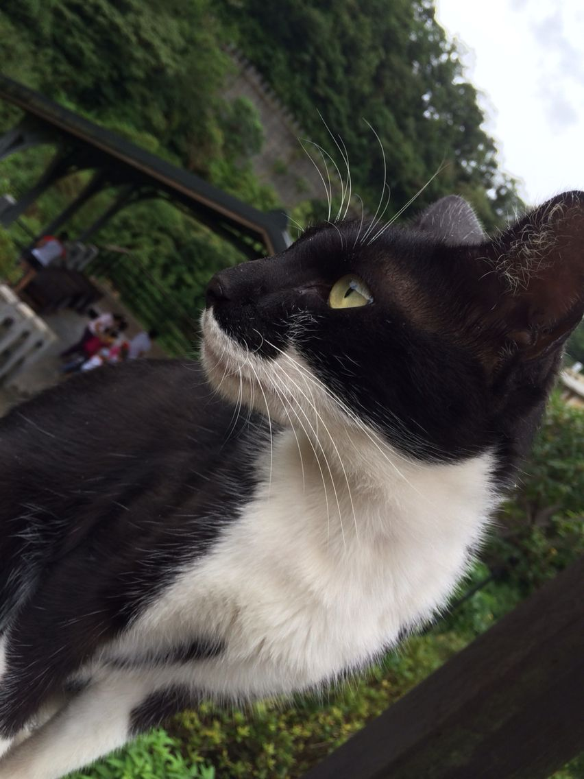 Houton Taiwan cat