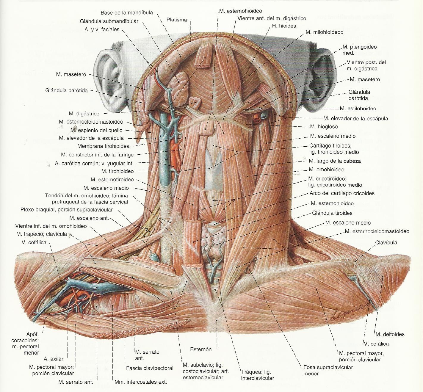 Excelente Anatomía Arco Cefálica Composición - Imágenes de Anatomía ...