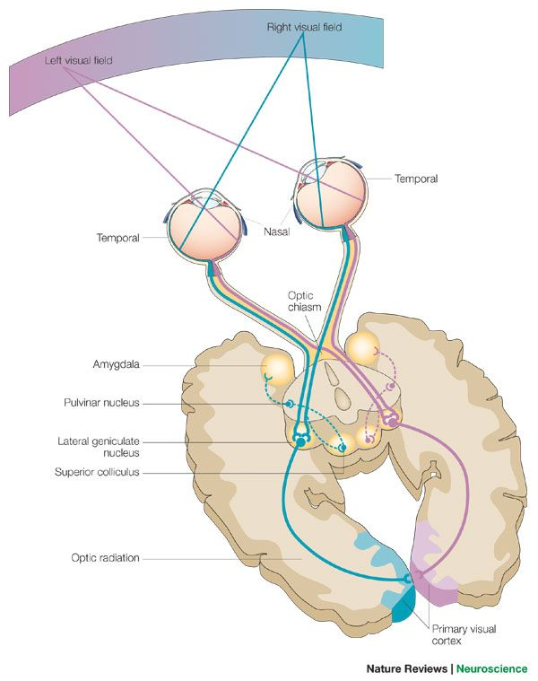 Brain Neurology Visual Processing #anatomy #physiology #health #body ...