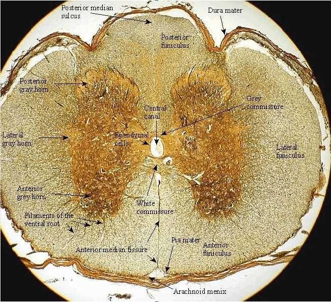 histology of nervous tissue on Pinterest | Neurons ...