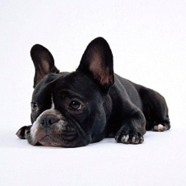 Black French Bulldog French Bulldog French Bulldog Puppies