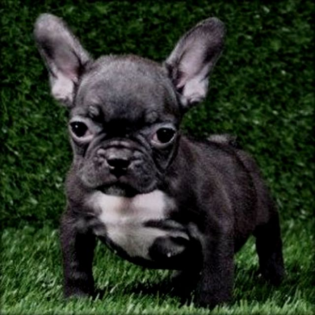 Well Hello Puppy Wuppy Bulldog Baby French Bulldog French
