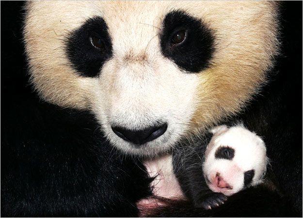 Giant Panda Bears Pandas Panda Panda Hug Cubs Pictures