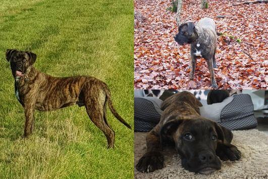 99+ Brindle Mastiff Rottweiler Mix in 2020 Rottweiler