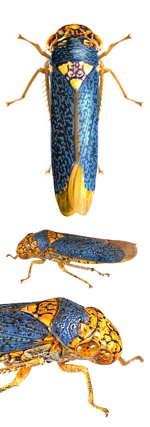 nigricans Beautiful bugs, Beetle insect