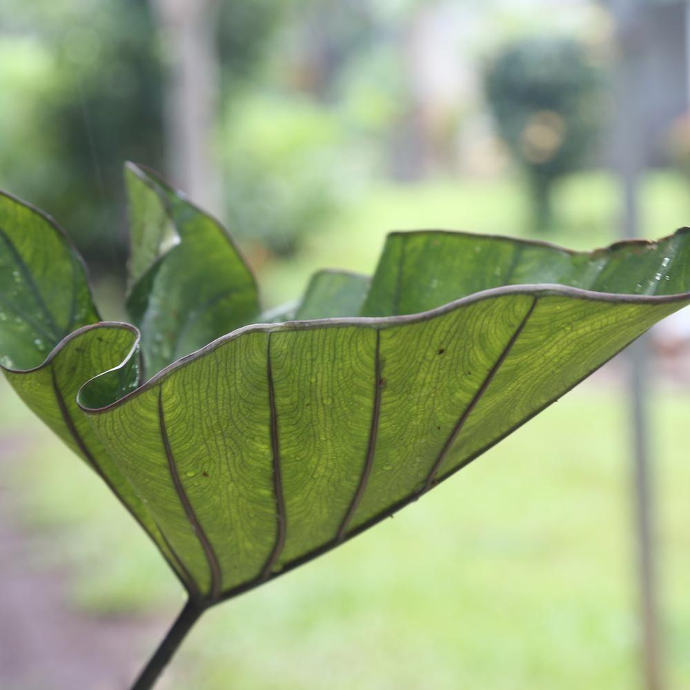 Colocasia elephant ears tea cup longfield gardens