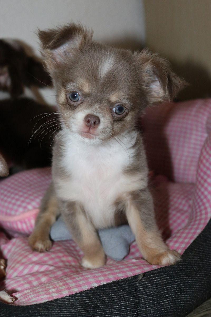 Chihuahua Lila Chihuahua Lilac Perros Bonitos Animales