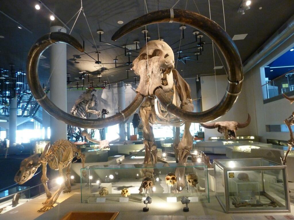 Twitter / DeepFriedDNA: #FossilFriday Imposing Woolly ...
