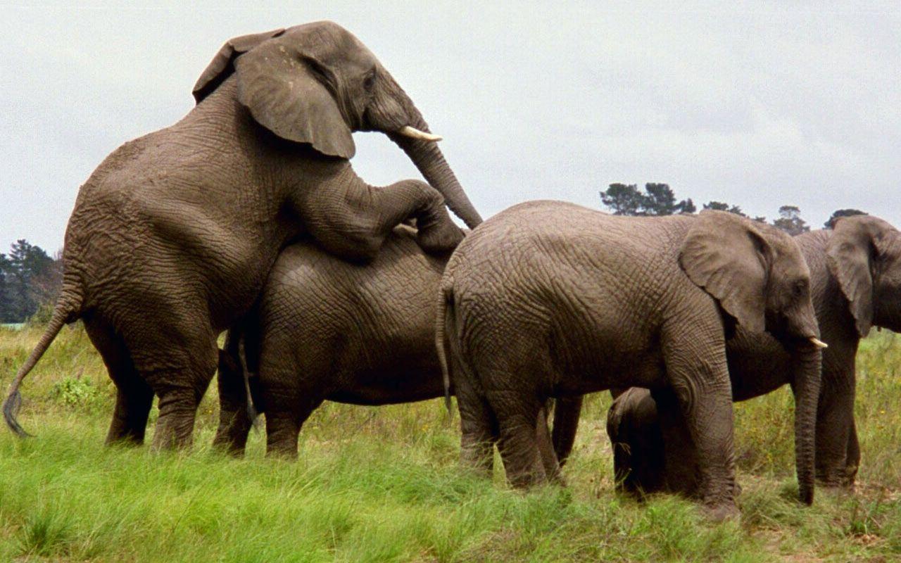 Elephant HD Wallpaper Free Download