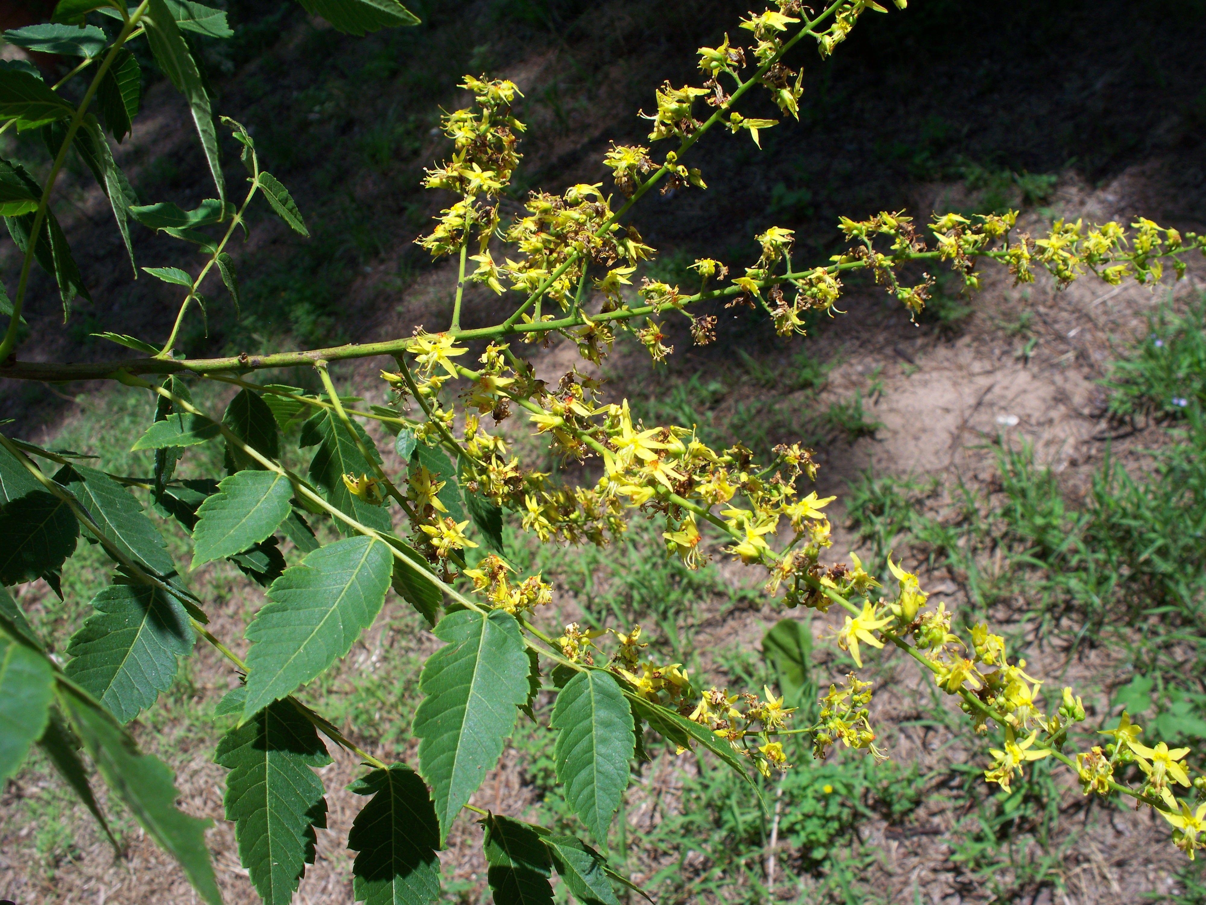 This is my tall tree like bush with yellow flowers that i am unable this is my tall tree like bush with yellow flowers that i am unable to identify mightylinksfo