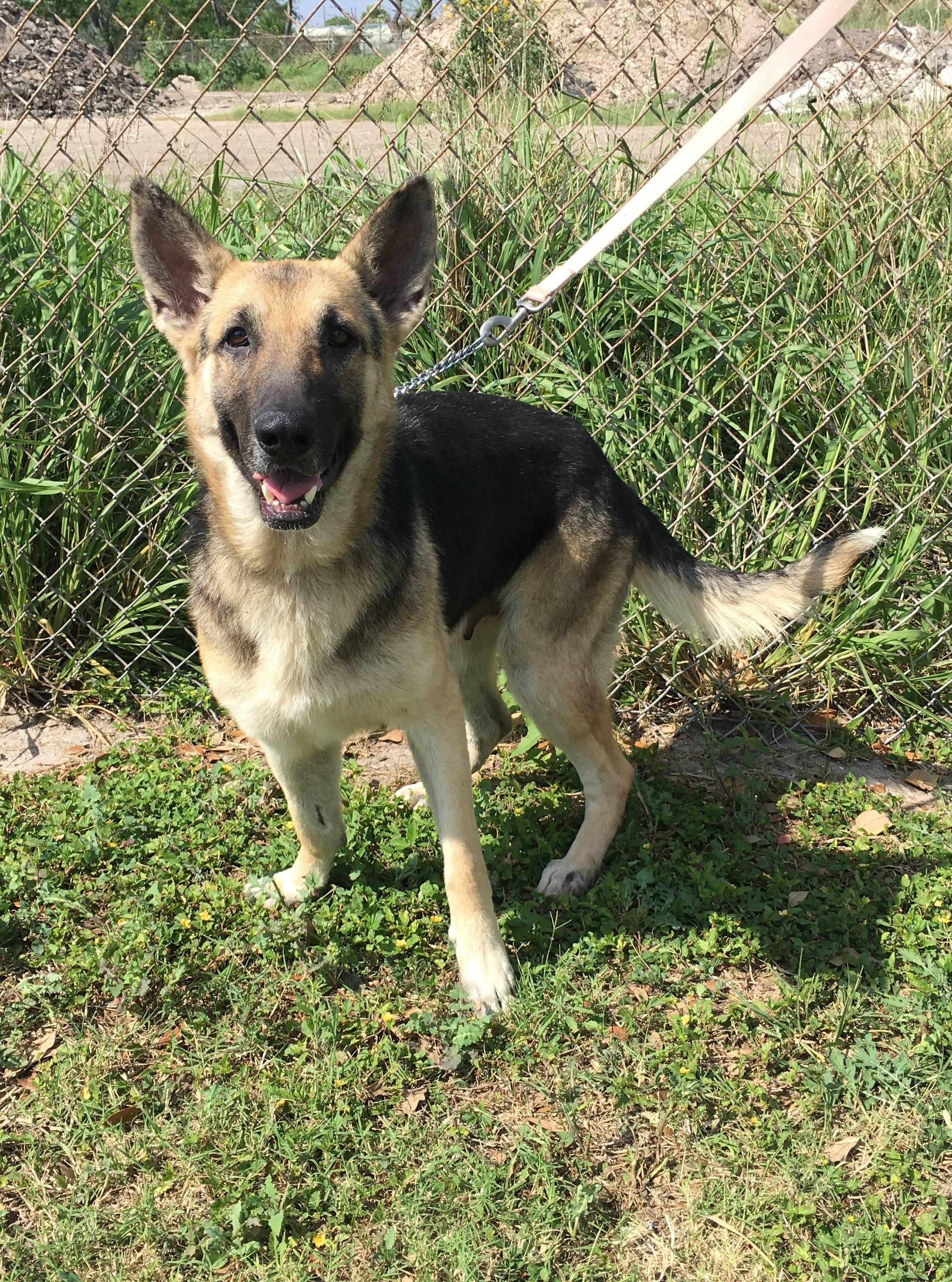 German Shepherd Dog dog for Adoption in Stephens City, VA