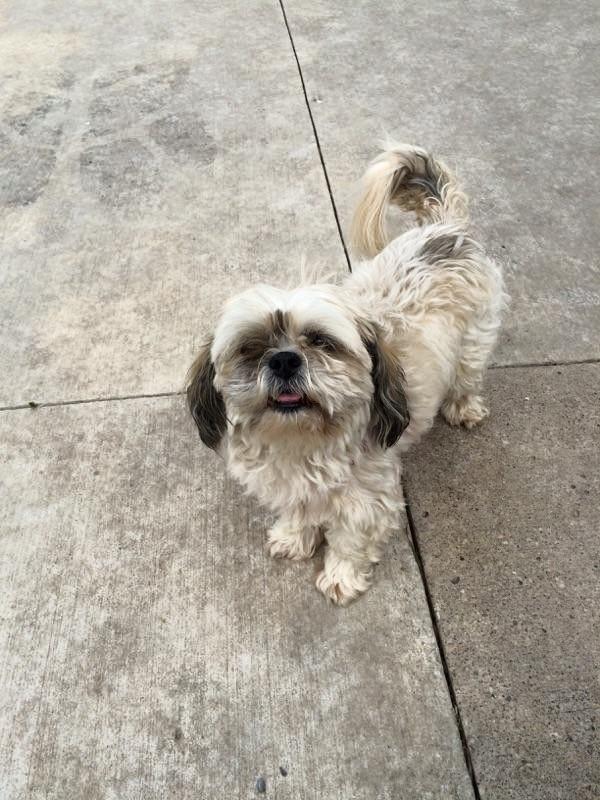 Meet Nellie A Petfinder Adoptable Shih Tzu Dog Jewell Ia