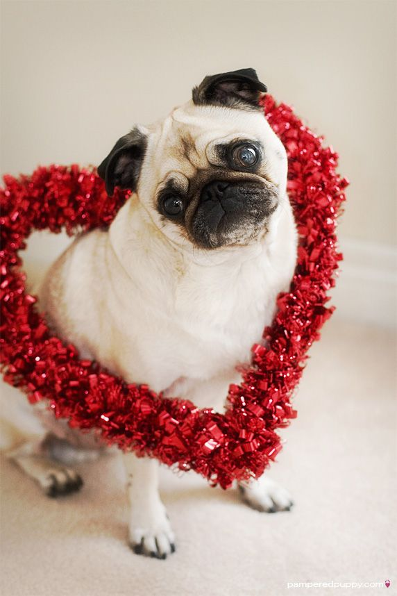 Valentine pug i know it 39 s a little early animals - Valentine s day animal pics ...