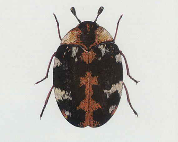 Carpet Beetle Vintage Insect Print Skin Beetle Brown Copper Beetle 1965 79 Bug Creepy Crawly Entomology Print Frameable Art Vintage Insect Prints Insect Print Beetle Illustration