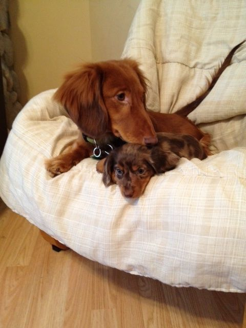 What's better than one dachsie? Two!