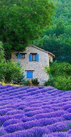 En Provenza, exuberantes campos de lavanda, Francia.