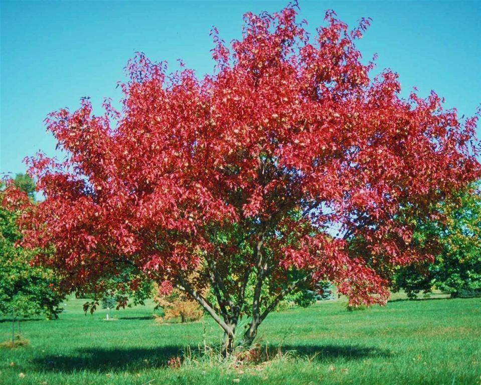 Mature maple tree