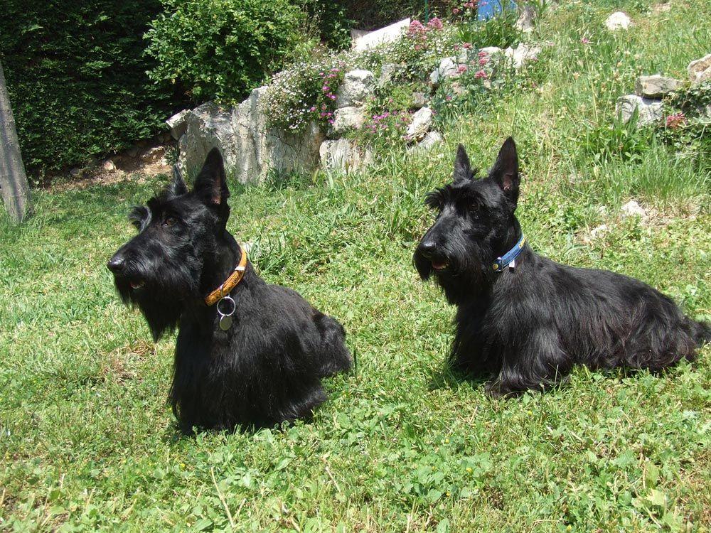 Fotos de Scottish Terrier  perros  Pinterest  Terriers