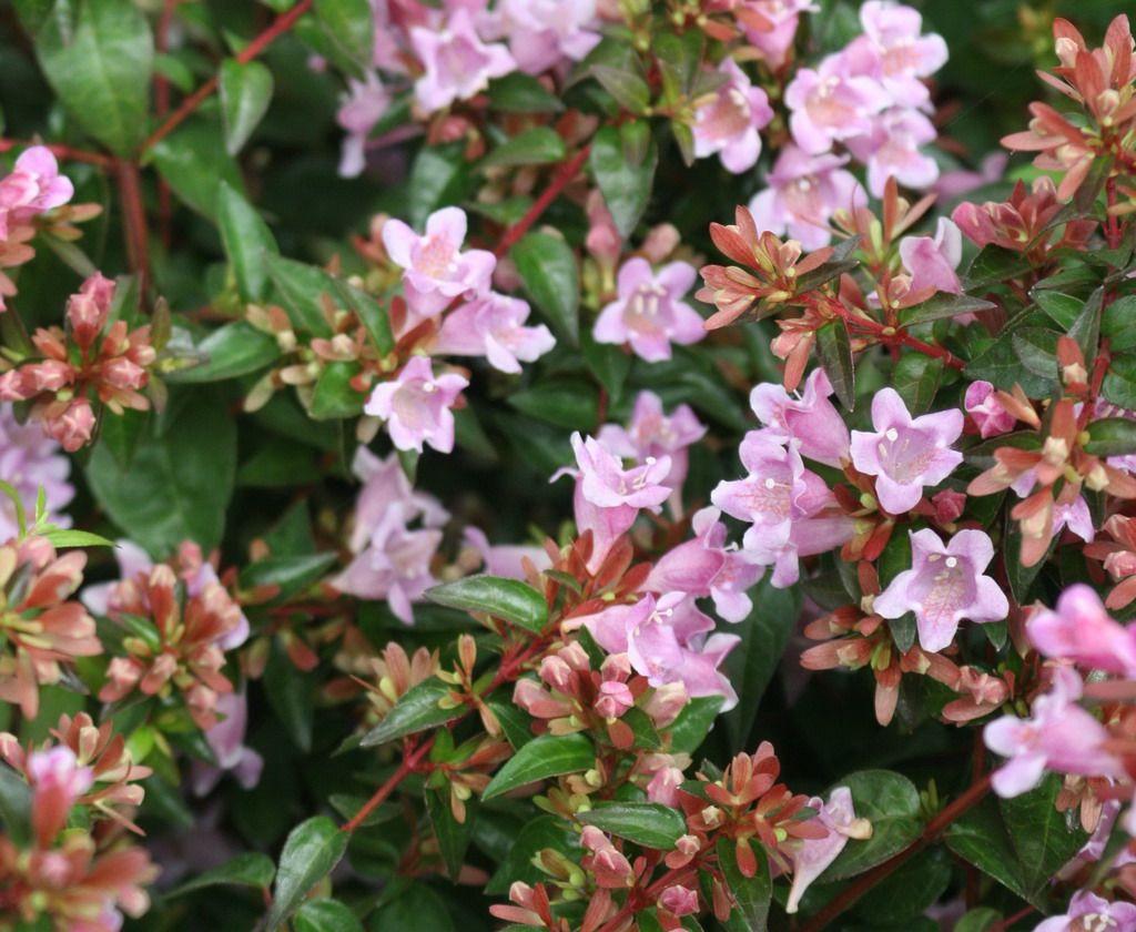 Abelia grandiflora 'Edward Goucher'  bohato kvitnúci ker (1,5 až 2 m). Je čiastočne stálozelený, s lesklo-zelenými listami. Jeho ružovo-biele, zvončekovité kvety sa na konárikoch objavujú po prvý raz v júni a odvtedy Abélia neustále kvitne až do príchodu mrazov. Darí sa jej najlepšie na slnečnom stanovišti alebo v polotieni. Vyžaduje si kyslé pôdy s pH mierne pod 7. Strihať najlepšie v júni.