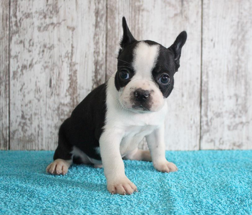 Ferman frenchton pupper for sale at shipshewana indiana