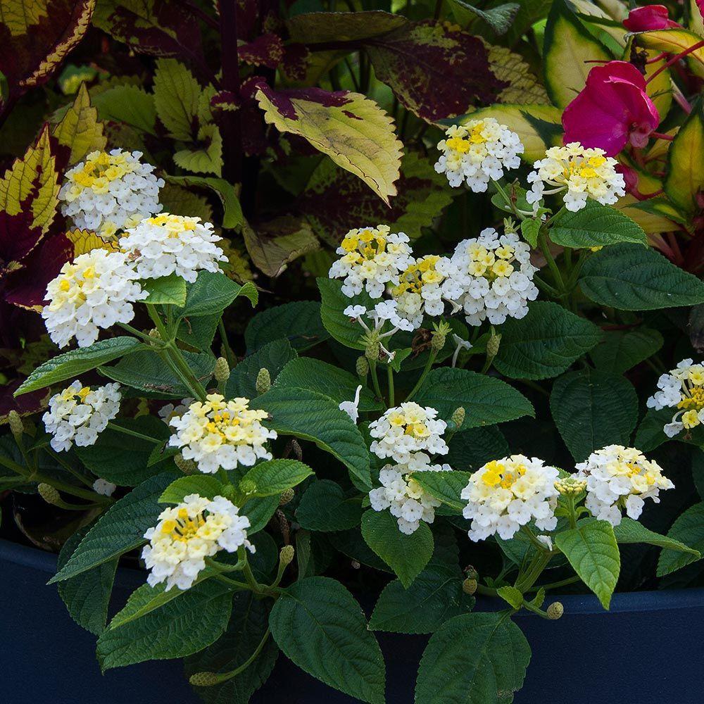 Lantana Lucky Lemon Glow In 2020 Lantana Shade Annuals Flower Pots Outdoor