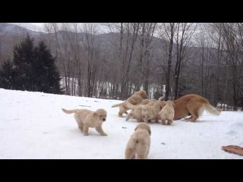 Adorable Watch This Golden Retriever Mom And Her Pups Playing In