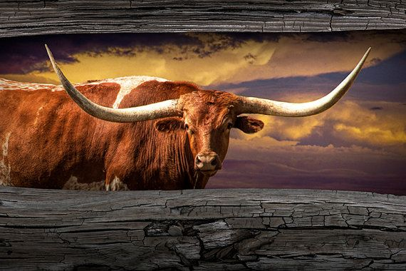 Texas Longhorn Steer At Sunset Looking Through By Randynyhofphotos Longhorn Cattle Cowboy Art Longhorn Steer