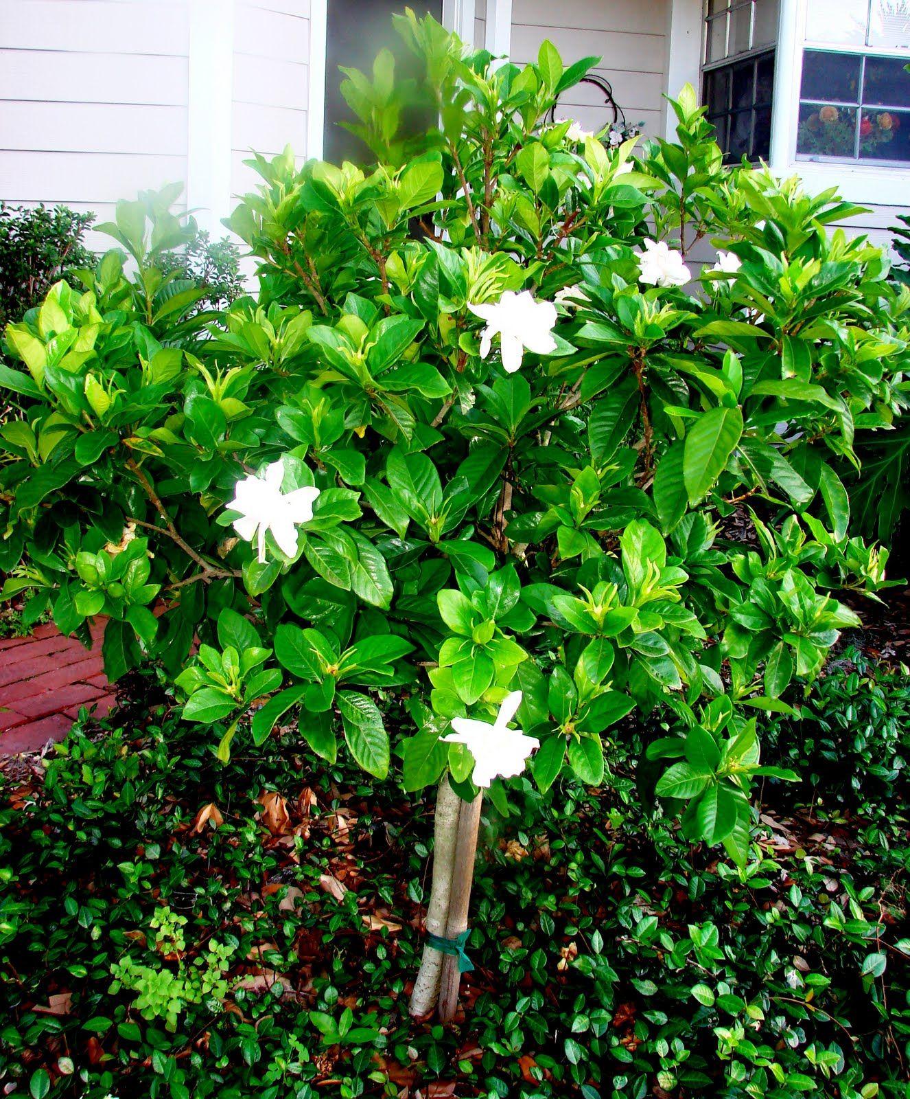Gardenias In Your Backyard Flores
