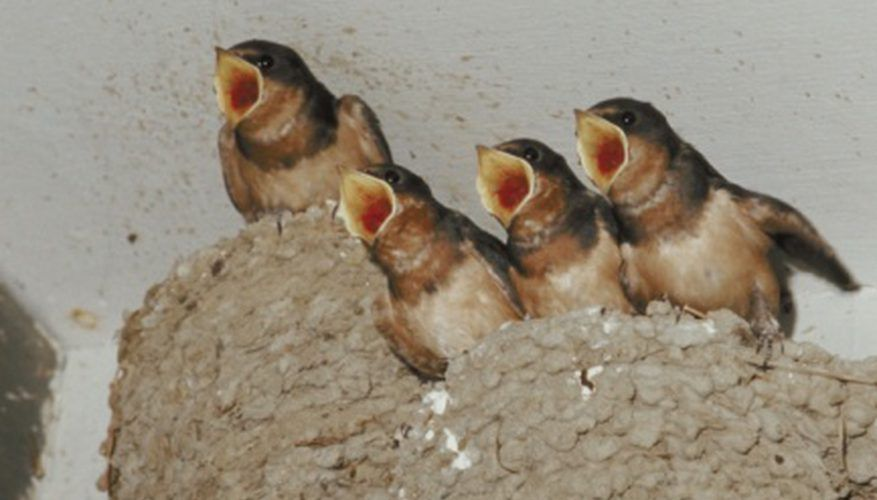 These nestlings are ready for dinner. Barn swallow, Baby