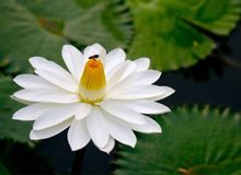 Lotus National Flower Of Egypt Flowers And Gardening Lotus