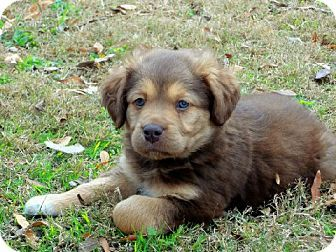 Hudson Akita Lab Mix Puppy Lab Mix Puppies Puppies And