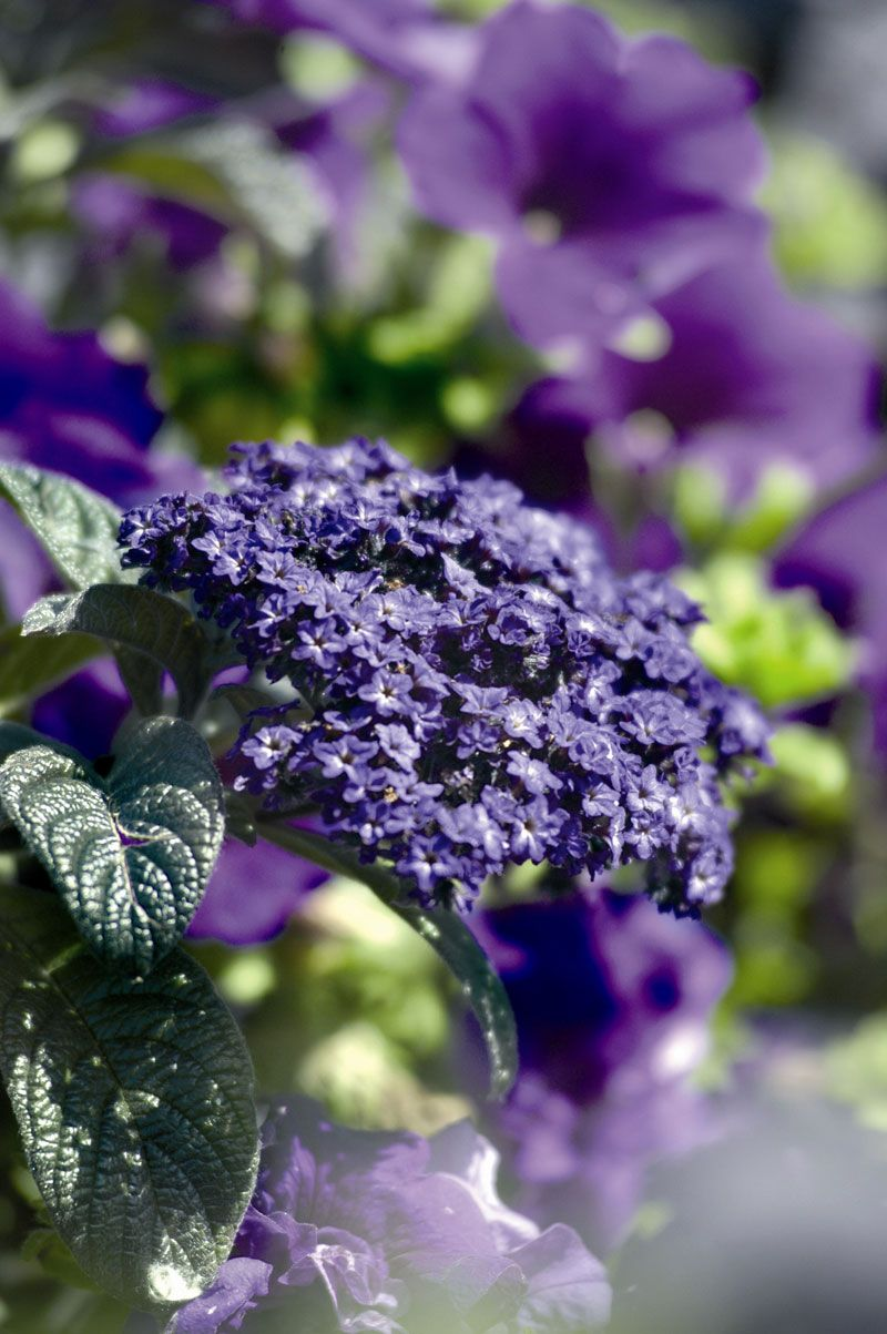 Heliotrope dear flowers pinterest flowers gardens and orchid