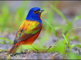 Resultado de imagem para pássaros exóticos do brasil