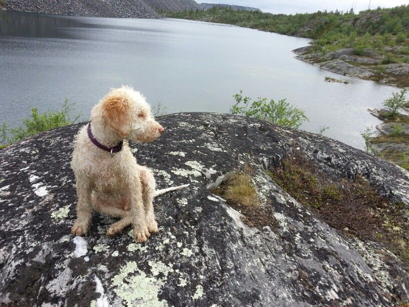 Lagotto Romagnolo 5 Months Of Age