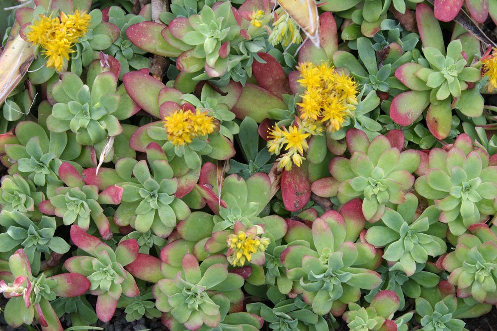 Sedum Palmeri Mendoza Pollinator Plants Sedum Yellow Flowering Plants