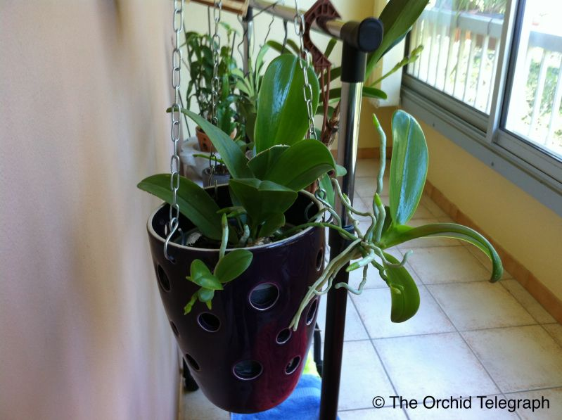Reproduction orchid e avant de s parer un keiki il faut tre bien certain que celui ci aura l - Comment conserver une orchidee ...