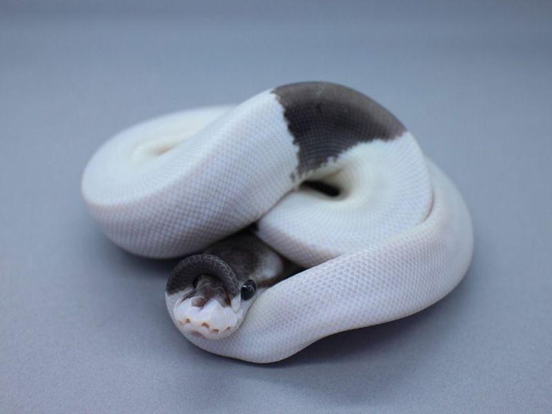 Super Black Pastel Champagne Morph List World Of Ball Pythons