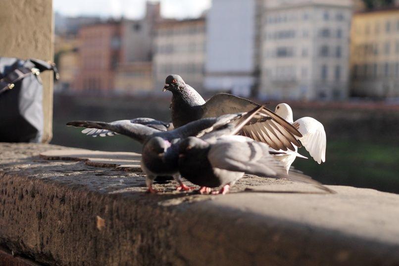 Italian pigeons, Florence.