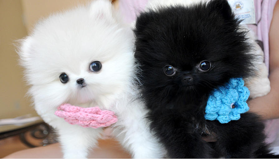 Black and White Pomeranian Puppies Animals Teacup