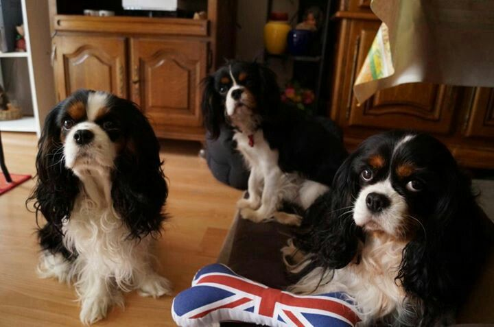 Tri Color Cavalier King Charles Spaniels Adorable Those Precious Faces Cavalier King Charles Spaniel Cavalier King Charles King Charles