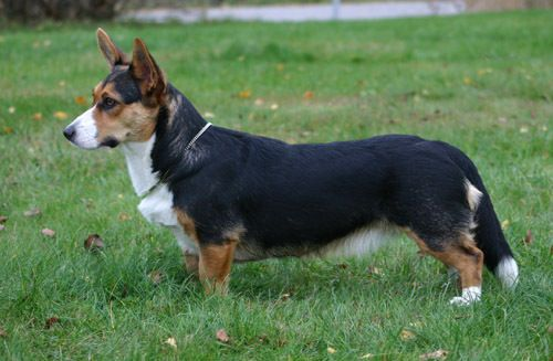 Welsh Corgi Cardigan Tricolor With Images Corgi Cardigan