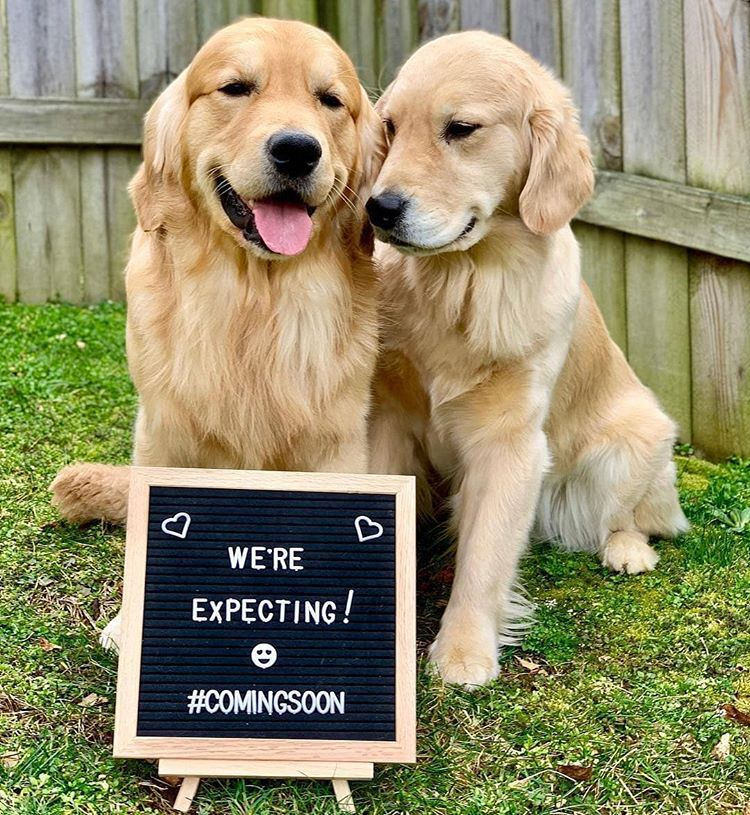 This Puppy Announcement Waterfrontgoldens Goldenretriever